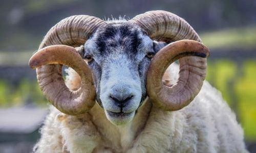 Prachtig schaap