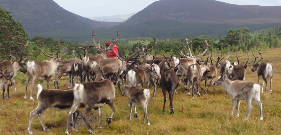 Rendier kudde in Cairngorm National Park Schotland
